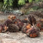 A False Hope? An analysis of the new draft Indonesian Sustainable Palm Oil (ISPO) regulation